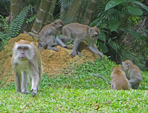 Monkeys at the Batu Caves, KL Malaysia